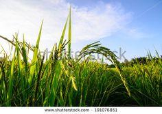sky green Rice