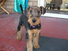 Airedale puppies!