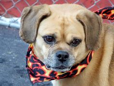SAFE 1/10/15 Manhattan Center   LILLY - A1024699  SPAYED FEMALE, TAN / BLACK, PUG / BEAGLE, 6 yrs STRAY - EVALUATE, NO HOLD Reason OWNER SICK  Intake condition EXAM REQ Intake Date 01/04/2015, From NY 10027, DueOut Date 01/04/2015,   https://www.facebook.com/Urgentdeathrowdogs/photos/a.931625973516949.1073743309.152876678058553/940620055950874/?type=3&theater
