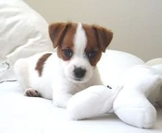 Jack Russell Terrier Puppy JRTCA Main Picture Gallery