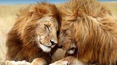 Bildergebnis für lions