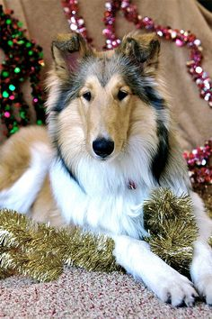 """""""Timmy is in frozen well?"""" """"No Lassie stay an decorate tree."""" #Collie #Christmas"""