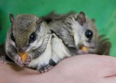 Southern Flying Squirrels in Ithaca, NY feast on almonds