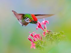 This brilliant hummingbird, the Frilled Coquette, is found only in Brazil