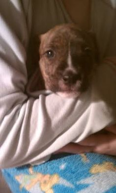 Annabelle was born shortly after her mother was rescued from NY city's ACC.  She is about 1 month old and enjoying being a puppy! She would be an amazing addition to any family!!If you'd like to adopt Annabelle, please apply at...
