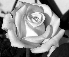 Más tamaños | Rose Values #1 | Flickr: ¡Intercambio de fotos!
