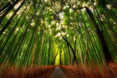 SAGANO, LA FORÊT DE BAMBOU, ARASHIYAMA, JAPON  Les bambous y mesurent plus de 30 mètres et laissent difficilement passer le soleil, baignant...