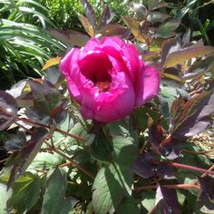 Adrian's beautiful tree peony flowering for the first time!