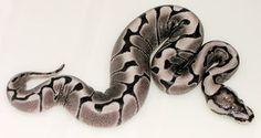 Axanthic Woma Ball Python Snake