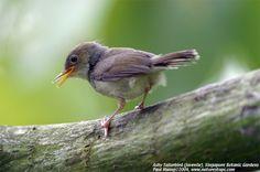 Ashy Tailorbird