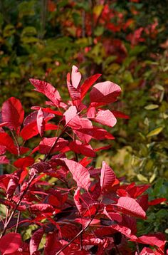 COTINUS 'Grace' is a vigorous shrub with rounded, rich purple leaves to long, turning reddish in autumn, and large feathery deep pink fruiting plumes Front Courtyard Deciduous Trees, Trees And Shrubs, Rhs Chatsworth, Smoke Tree, Front Courtyard, Planting Plan, Plant Health, Leaf Coloring, Types Of Soil