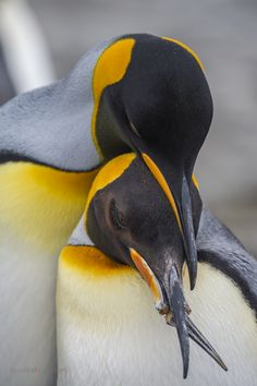 King Penguin, Penguin Art, Exotic Birds, Colorful Birds, Pinguin Drawing, Macaroni Penguin, Galapagos Penguin, Rockhopper Penguin, Penguin Species