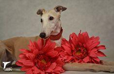 Greyhound with flowers