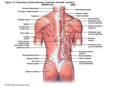 © 2012 Pearson Education, Inc. 10 The Muscular System: Axial Musculature PowerPoint® Lecture Presentations prepared by Steven Bassett Southeast Community… Muscles Of The Neck, Back Muscles, Scapula, Muscular System, How To Stay Healthy, Gym Workouts, Anatomy, Presentation, Deep