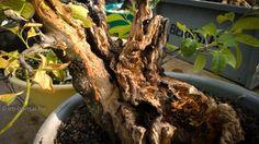 Kései meggy - Prunus serotina - saját maga tanukija