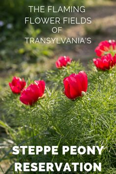 The Flaming Flower Fields of Transylvania's Steppe Peony Reservation