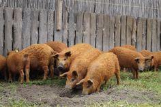 https://www.behringer-mangalica.de/shop/de/media/image/behringer-mangalitza-wollschweine-online-kaufen-16.jpg Mangalica-Schwein