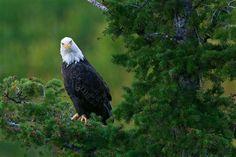 Idaho -Bald Eagle