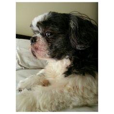 Pepper #shihtzu#dog#family#philippinesシーズー#犬#フィリピン