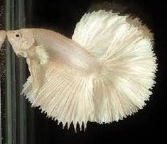 béta albinos