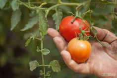 Grow a Tomato Plant - wikiHow