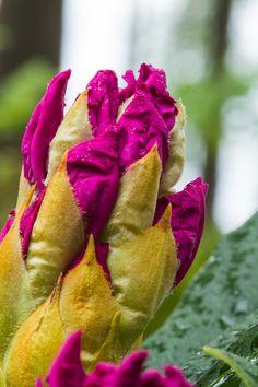Rhododendron, Haaga, Finland by Heikki Rantala Finland, Gardening, Rose, Flowers, Plants, Fun, Pink, Lawn And Garden, Plant