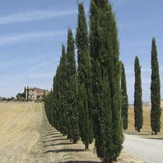 Italian cypress - we planted 4 as a privacy screen several years ago and they're now about 8 feet, like very much says SB