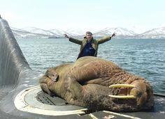 Walrus naps on russian sub hatch