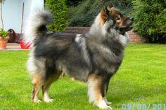 Eurasier, my future dog