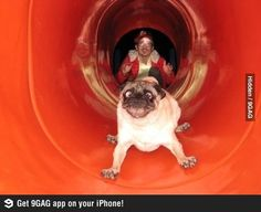 Pugs on a slide... do they really match? #humor #funny