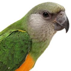 The bird body language of Poicephalus parrots (Poi), can be as comical as it is perplexing.
