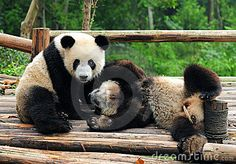 Giant Panda Bears Playing