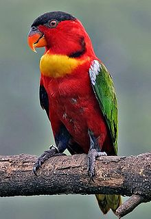 The Yellow-Bibbed Lory lives in the  Solomon Islands. Its natural habitats are subtropical or tropical moist lowland forests and subtropical or tropical moist montane forests.