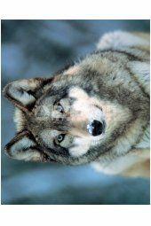Grey Wolf Husky, Wolf, Posters, Grey, Mini, Animals, Gray, Animales, Animaux