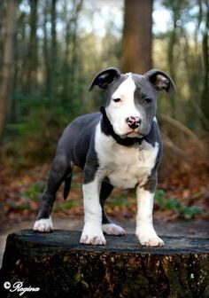 Too many gorgeous Pit bull out there to pin them all but couldn't resist this strikingly marked puppy!