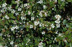 Coral Beauty Cotoneaster (Cotoneaster dammeri 'Coral Beauty') at Connon Nurseries CBV