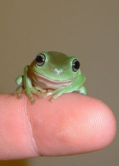 Baby white tree-frog.  I just got one as a pet.   ...........click here to find out more     http://guy.googydog.com
