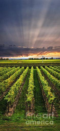 Vineyard at Sunset - panorama of vineyard in Niagara peninsula, Ontario, Canada.