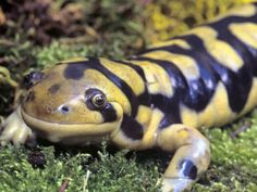 Colorado state amphibian-western tiger salamander - My list of the most beautiful animals Most Beautiful Animals, Beautiful Creatures, Rare Albino Animals, Salamanders, Group Of Dogs, Weird Creatures, Reptiles And Amphibians, Animals Of The World, Tiger