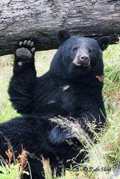 """""""Bear Says Hi"""" - photo by Ruth Hoyt"""
