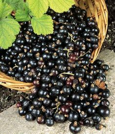 black-currant-fruits the best way I can describe it is that it is what one might get if you combined a cranberry, a blueberry and a grape. Black Currant Fruit, Black Currants, Currant Recipes, Blackberry Jam Recipes, Sugar Free Jam, Growing Fruit Trees, Antioxidant Supplements, Healthy Recepies, Healthy Fruits