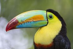 And now, a more classical animal, a toucan with a beautiful bill! Belize Vacations, Belize Resorts, Belize Travel, Belize Destinations, Inclusive Resorts, Toucan Images, Living In Belize, Toco Toucan, Black And White Birds