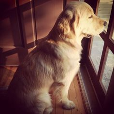 A little lab sitting in the window waiting for anyone to come home. Best Dogs For Families, Family Dogs, Most Beautiful Dog Breeds, Beautiful Dogs, True Love Waits, Puppy Breath, Golden Puppy, Dog Mixes, Different Dogs