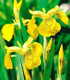 Gelbe Schwertlilie (Iris pseudacorus)
