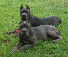 Cane Corso | cane corso imperio alta crianza y seleccion de cane corso precio $ ...