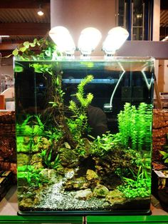 ... Little fish for little tanks on Pinterest Africans, Fish and