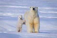 Alaska's Polar Bears Win Their Day in Court -- A federal court upholds critical habitat boundaries for the endangered bear.