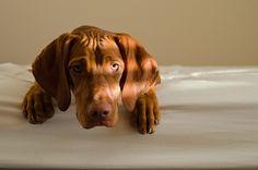 Vizsla Puppies, Dogs And Puppies, Vizsla Dog, Most Beautiful Dog Breeds, Beautiful Dogs, Dog Lover Quotes, Dog Lovers, Hungarian Vizsla, Dog Photos