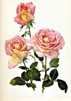 Love vintage roses