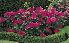 Rose breeders - About our rose garden collection - David Austin Roses